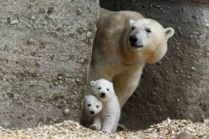Twin polar bear cubs stand with their mother Giovanna in their enclosure at Tierpark Hellabrunn in Munich, March 19, 2014.  The 14 week-old ...