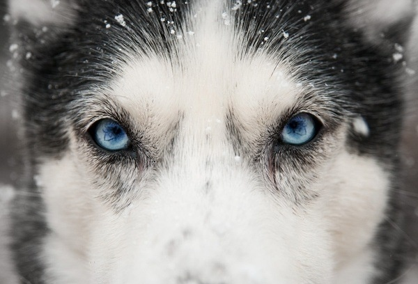 Close up - husky eyes