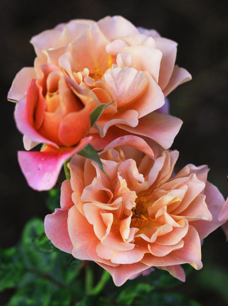 Peach Drift shrub rose | flowers | Pinterest