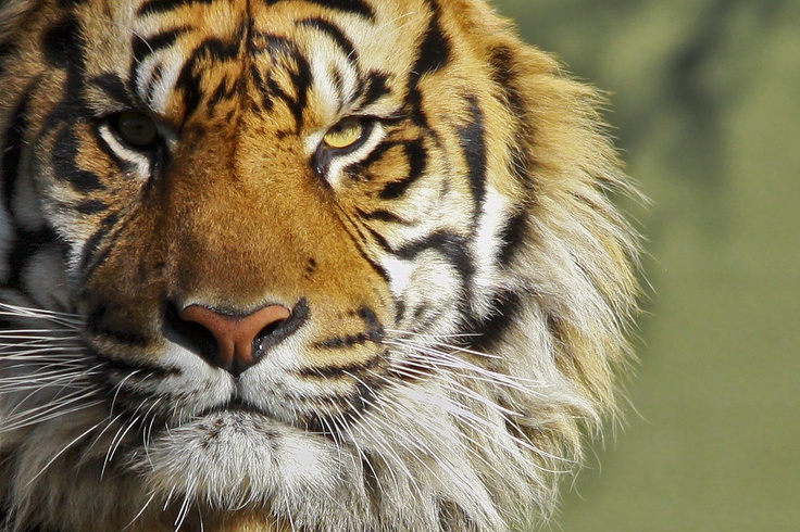 angry tiger photos - photo #21