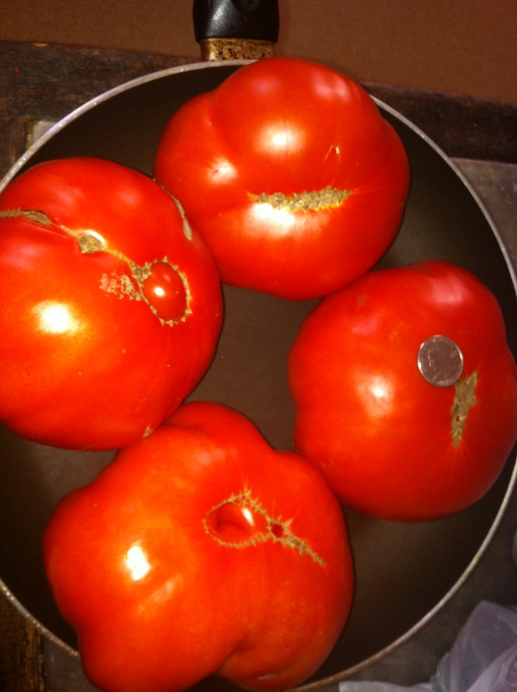 monster tomatoes in 12 inch pan quarter on medium size. BLTs tonight ...