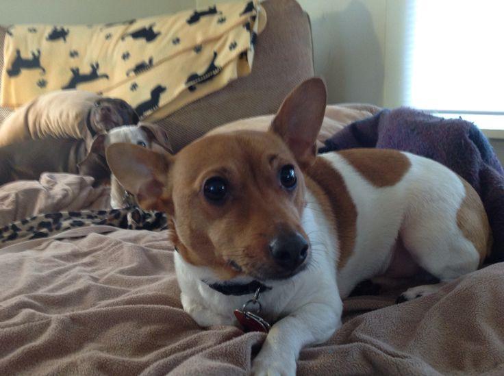 Carl wilbur teddy rat terrier teddy roosevelt terriers pinterest