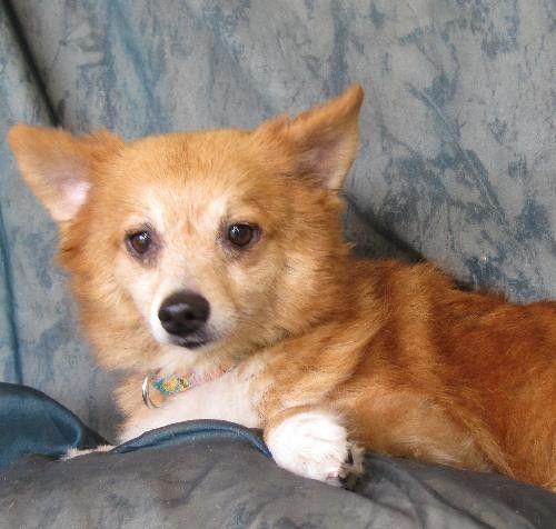 ... Dog ready for adoption: Pomeranian / Shetland Sheepdog Sheltie / Mixed