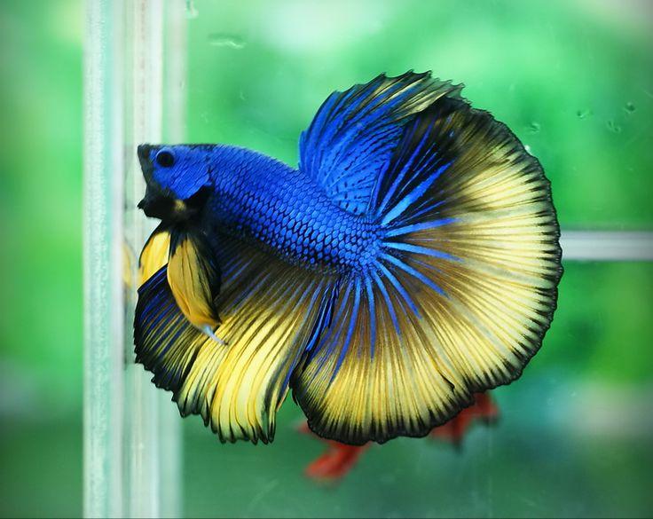 Blue and yellow betta fish - photo#1