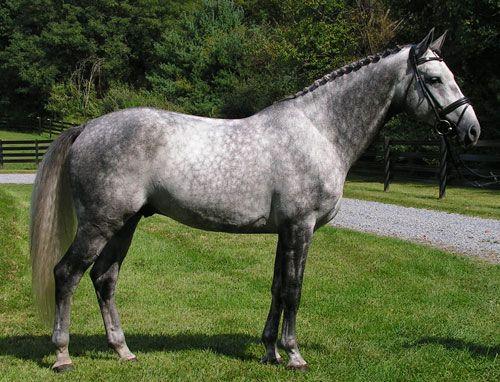 Oldenburg Hanoverian Horse