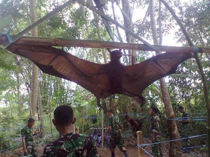 The largest bat species is the Giant golden-crowned flying fox an endangered fruit bat from the rainforests of the Philippines. The maximum size is believed to approach 3.3 lbs, 22 in long, and the wingspan may be almost 5.9 ft.