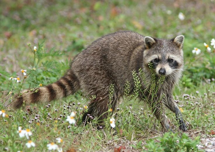 Raccoon T Northern Raccoon | Olm...