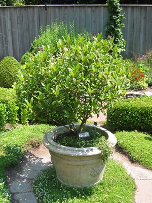 bay tree in pot photo source unknown potagers herb gardens pi