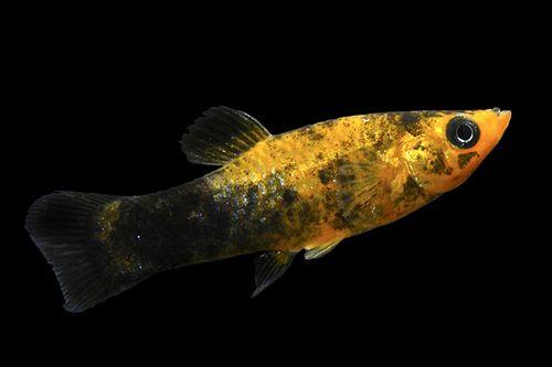Gold Molly Fish Gold Dust Molly (regular)
