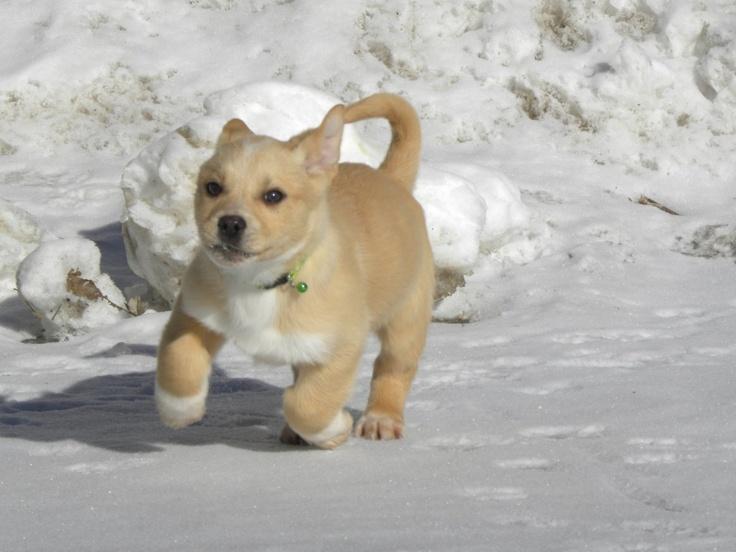 Husky/Corgi Mix | Dogs | Pinterest