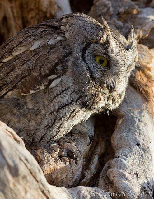 Western Screech-Owl | Owls | Pinterest
