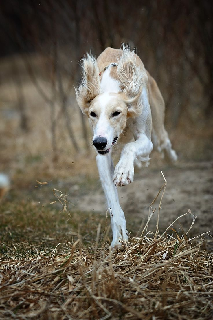 speed... by Alyat. Saluki on the chase. | Release the ...