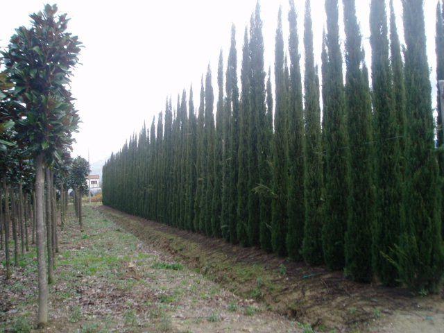 ... by Baumschule New Garden on Große Heckenpflanzen - Teil 1 Zypress