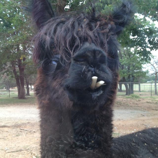 Buck Tooth Llama