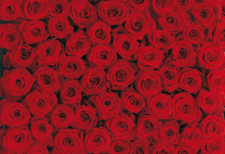 Red roses wall mural roses and rose walls pinterest for Black and white rose wall mural