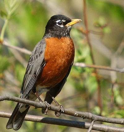 Merle d 39 am rique oiseaux pinterest for Oiseau jaune et noir