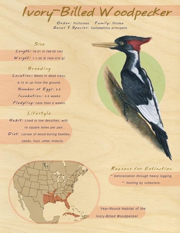 Ivory-billed woodpecker | Endangered species | Pinterest