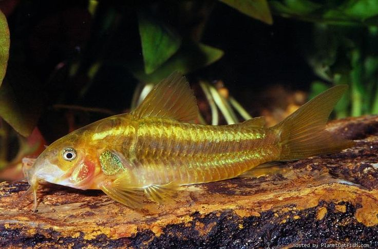 Corydoras sp cw010 catfish and loaches pinterest for Cory cat fish