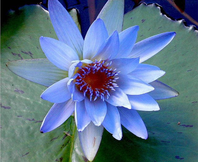 Blue Water Lily | Flowers | Pinterest
