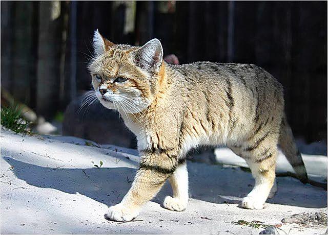 koygore: Felis bieti- gato del desierto chino