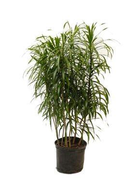 Pleomele reflexa malaysian dracaema additional common for Large non toxic house plants
