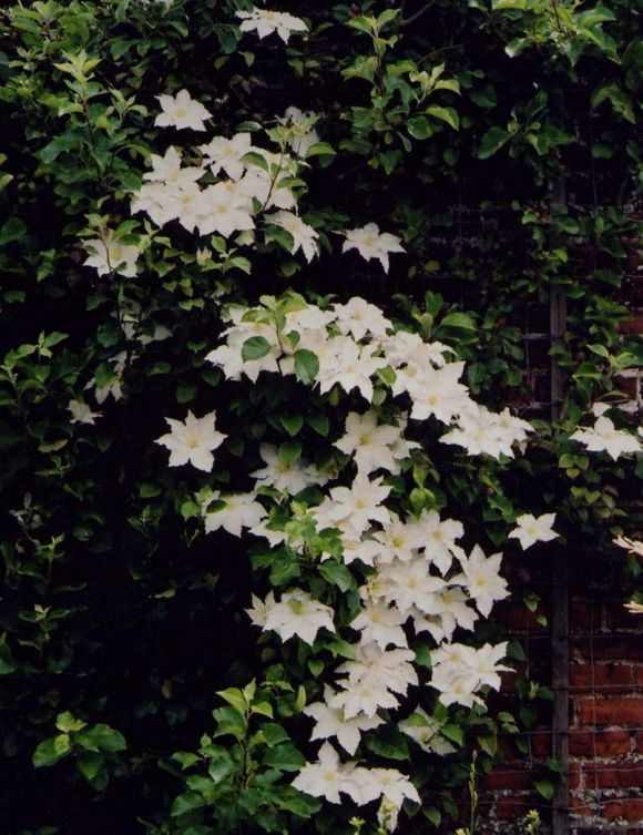 gillian blades clematis climbing vine gardening