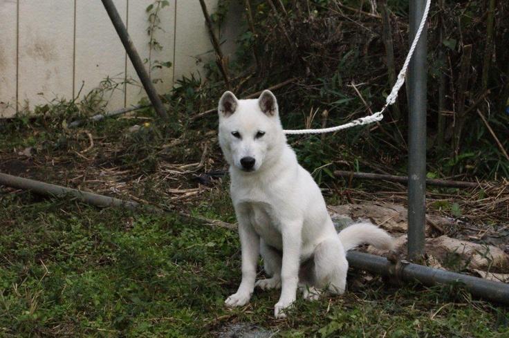 紀州犬の画像 p1_37