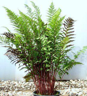 lady in red fern ferns pinterest