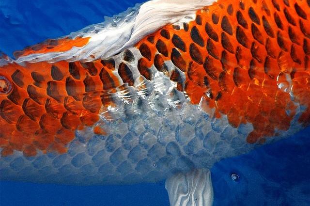 Koi scales koi pinterest for Koi fish scales