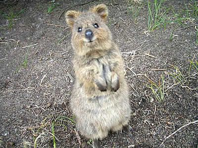 Baby quokka smiling - photo#10