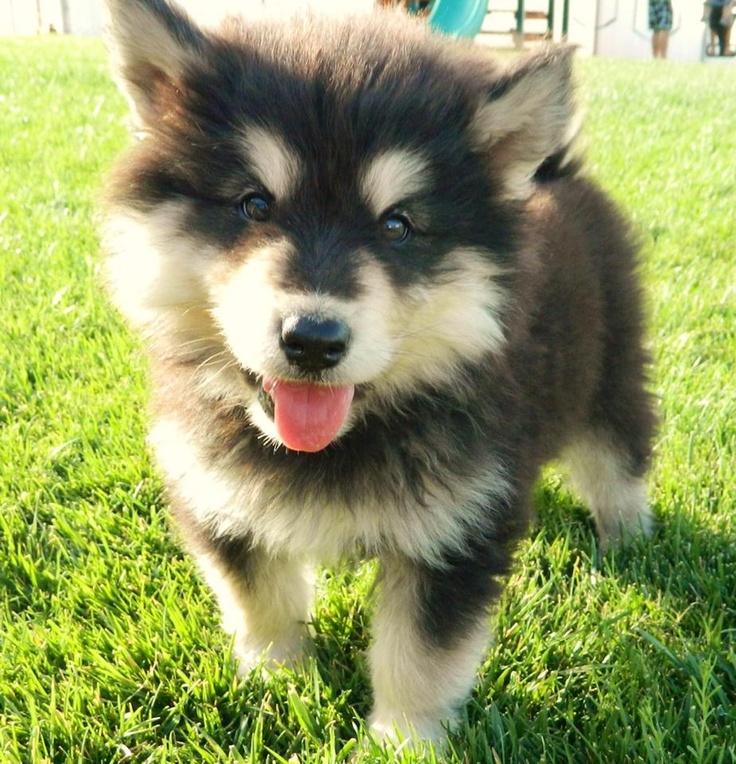 Pomsky. Pomeranian husky mix | ᔕ'ᑕᑌTEEEE | Pinterest