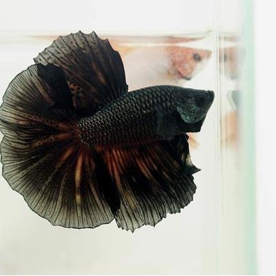 black betta fish. | Bettas and other Fish | Pinterest