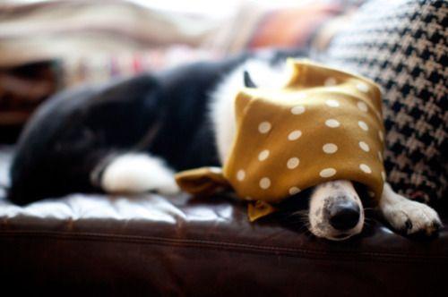 Dog sleeping under a bandanna.