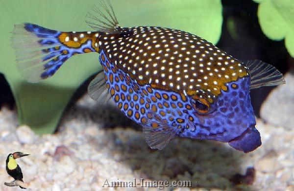 Male Whitespotted Boxfish Underwater Amazement Pinterest