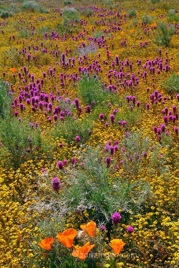 spring wildflowers in antelope - photo #11