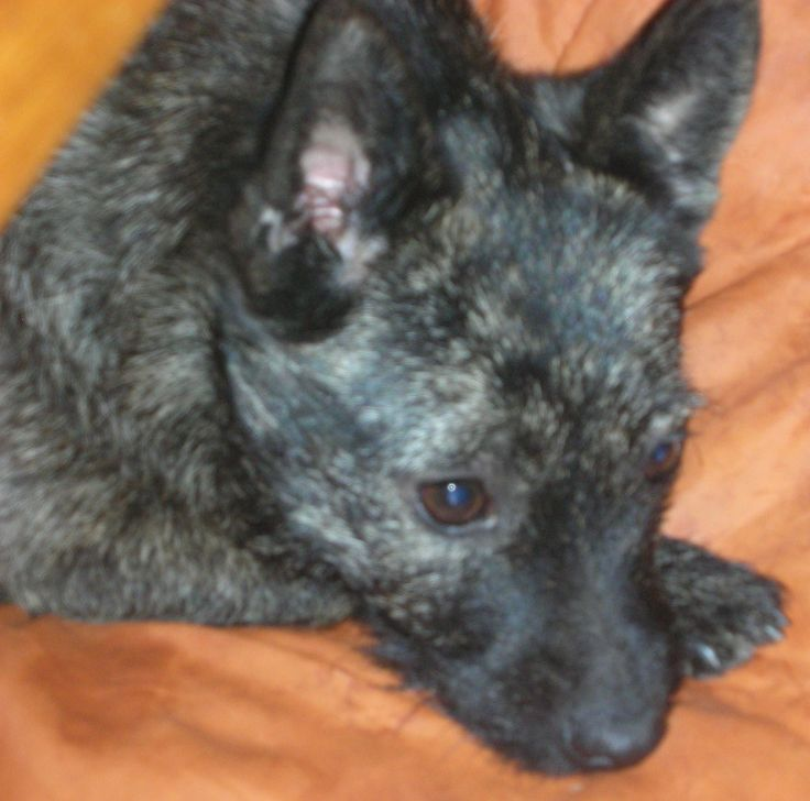 Keltie, Yorkie, Cairn mix | Dogs, dogs, dogs | Pinterest