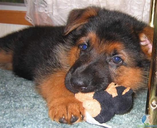 Red and black german shepherd dog - photo#25