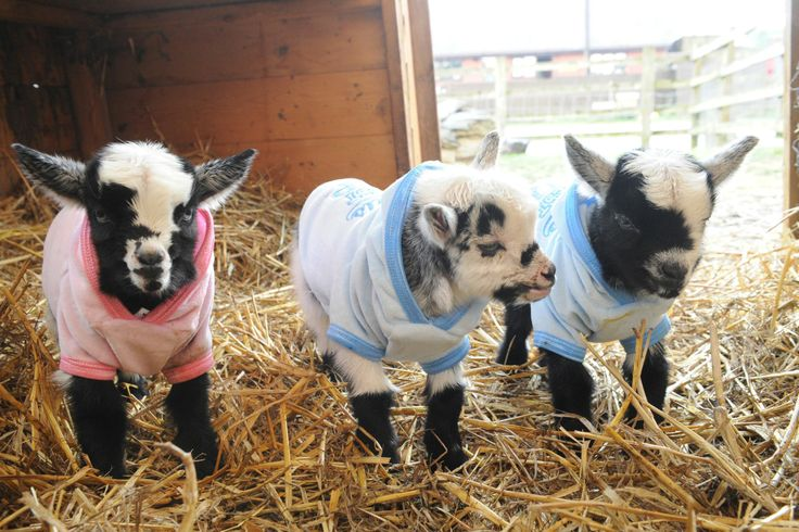 Cute Baby Pygmy Goats In Sweaters Pin by Daily Record on...