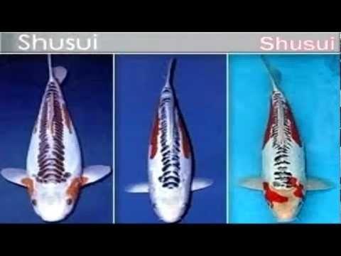 Video on types of koi koi pinterest for Koi variety chart