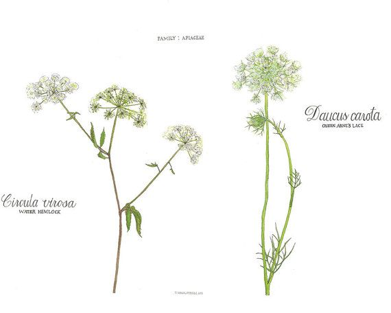 Water Hemlock and Queen Anne's Lace, Watercolor Botanical Illustration ...