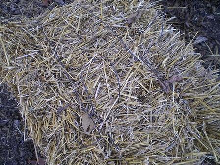 Organic Straw Bale Gardening 2013 Gardening And Root Cellaring Pi