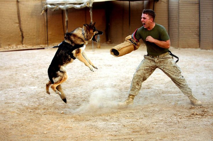 Lance Cpl. Trevor M. Smith, a 20-year-old combat tracker dog handler with the II Marine Expeditionary Force, taunts Grek, a military working dog.