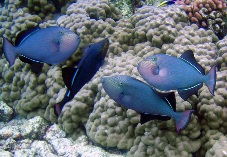 pic of black dragon triggerfish pictures