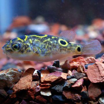 Figure 8 Puffer Tropical Fish Pinterest
