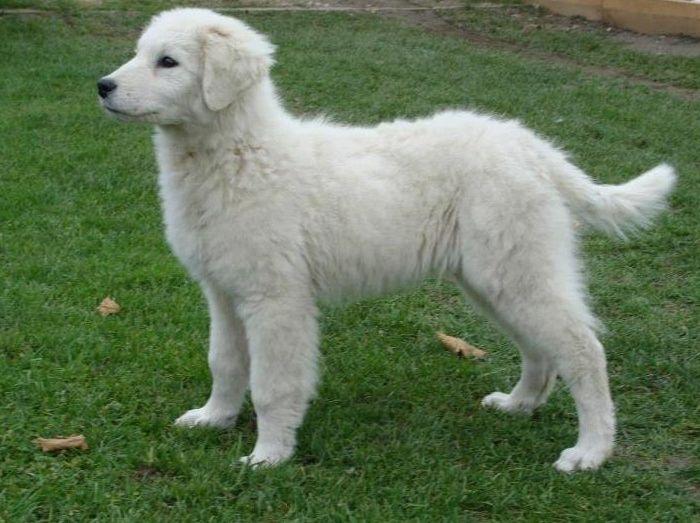 Hungarian Dog Breeds Kuvasz