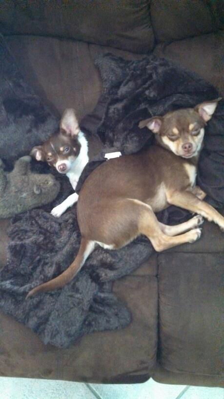Two headed dog! :) | Ayi Chihuahua! | Pinterest