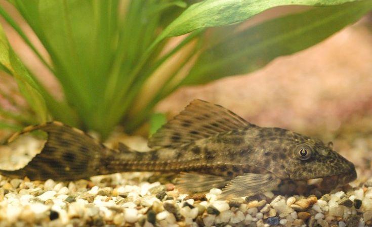 Plec (suckermouth catfish) Aquarium Pinterest