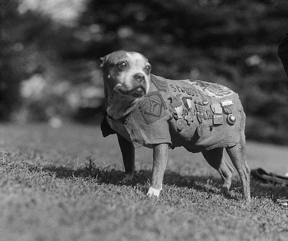 Stubby, a pit bull type dog, was a hero of World War I. He is the only dog that has been promoted to sergeant through combat. He served for 18 months in World War I as part of the 102nd infantry, 26th Division in France. Involved in 17 battles, Stubby did more than just boost the morale of the soldiers in his unit.