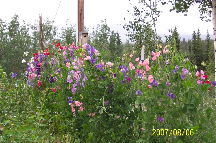 Sweet Peas... | Alaska...things to do, places to go | Pinterest