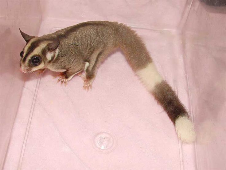 Ringtail Mosaic Sugar Glider | Squirrels are my happiness